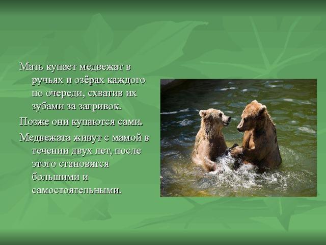 Мать купает медвежат в ручьях и озёрах каждого по очереди, схватив их зубами за загривок. Позже они купаются сами. Медвежата живут с мамой в течении двух лет, после этого становятся большими и самостоятельными.