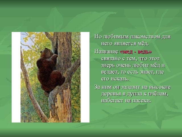 Но любимым лакомством для него является мёд. Название «мед - ведь» связано с тем, что этот зверь очень любит мёд и ведает, то есть знает, где его искать. За ним он залазит на высокие деревья в дупла к пчёлам, набегает на пасеки.