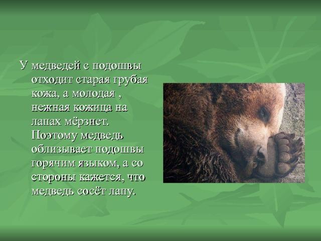 У медведей с подошвы отходит старая грубая кожа, а молодая , нежная кожица на лапах мёрзнет. Поэтому медведь облизывает подошвы горячим языком, а со стороны кажется, что медведь сосёт лапу.
