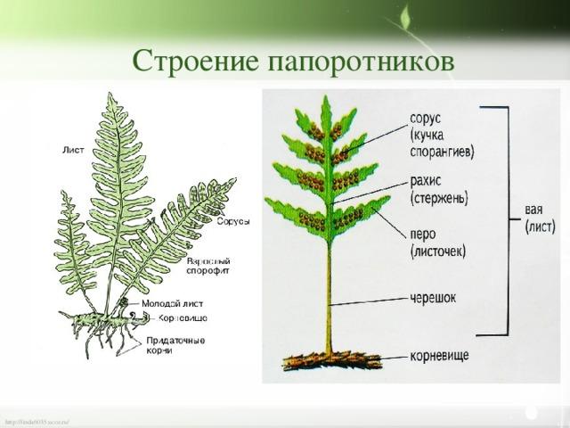 Байкале, строение папоротника рисунок с надписями