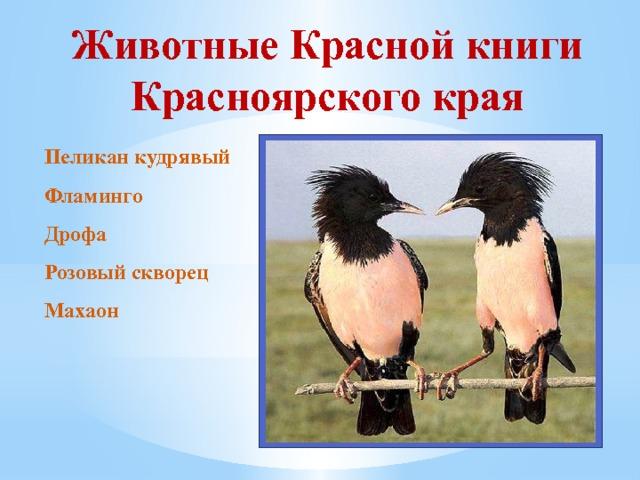 картинки животных красной книги красноярского края для провинции