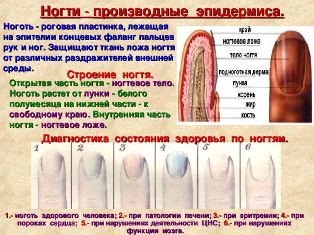 Ногти - производные эпидермиса. Ноготь - роговая пластинка, лежащая наэпителии концевых фаланг пальцев рук иног. Защищают ткань ложа ногтя от различных раздражителей внешней среды. Строение ногтя. Открытая часть ногтя - ногтевое тело . Ноготь растет от лунки - белого полумесяца на нижней части - к свободному краю . Внутренняя часть ногтя - ногтевое ложе .  Диагностика состояния здоровья по ногтям. 1.- ноготь здорового человека; 2.- при патологии печени; 3.- при эритремии; 4.- при пороках сердца; 5.- при нарушениях деятельности ЦНС; 6.- при нарушениях функции мозга.