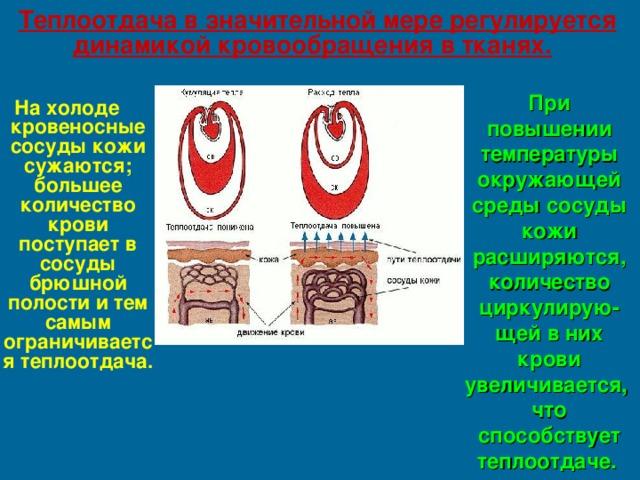 Теплоотдача в значительной мере регулируется динамикой кровообращения в тканях.  При повышении температуры окружающей среды сосуды кожи расширяются, количество циркулирую-щей в них крови увеличивается, что способствует теплоотдаче.  На холоде кровеносные сосуды кожи сужаются; большее количество крови поступает в сосуды брюшной полости и тем самым ограничивается теплоотдача.