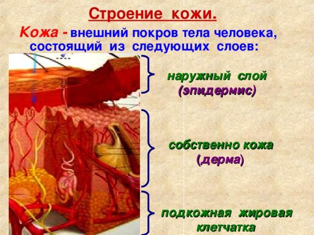 Строение кожи. Кожа  - внешний покров тела человека, состоящий из следующих слоев: наружный слой  (эпидермис) собственно кожа  ( дерма ) подкожная жировая клетчатка