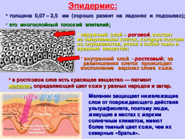 Эпидермис:  толщина 0,07 – 2,5 мм (хорошо развит на ладонях и подошвах);  это многослойный плоский эпителий;   наружный слой – роговой ,состоит изомертвевших клеток, которые постоян но слущиваются, унося ссобой пыль и вредные вещества;  внутренний слой - ростковый ; за счет размножения клеток происходит восполнение верхних слоев кожи.   вростковом слое есть красящее вещество— пигмент меланин , определяющий цвет кожи уразных народов изагар.   Меланин защищает нижележащие слои от повреждающего действия ультрафиолета, поэтому люди, живущие в местах с жарким солнечным климатом, имеют более темный цвет кожи, чем их северные «братья».
