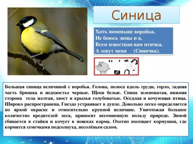 Синица Хоть поменьше воробья,  Не боюсь зимы и я,  Всем известная вам птичка.  А зовут меня (Синичка). Большая синица величиной с воробья. Голова, полоса вдоль груди, горло, задняя часть брюшка и подхвостье черные. Щеки белые. Спина зеленоватая, нижняя сторона тела желтая, хвост и крылья голубоватые. Оседлая и кочующая птица. Широко распространена. Гнездо устраивает в дупле. Довольно легко определяется по яркой окраске и относительно крупной величине. Уничтожая большое количество вредителей леса, приносит несомненную пользу природе. Зимой сбивается в стайки и кочует в поисках корма. Охотно посещает кормушки, где кормится семечками подсолнуха, несолёным салом.
