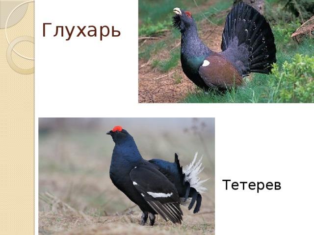 Глухарь Тетерев