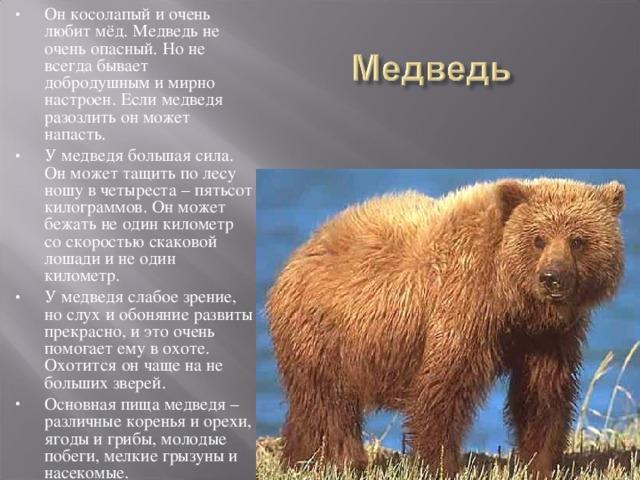 Он косолапый и очень любит мёд. Медведь не очень опасный. Но не всегда бывает добродушным и мирно настроен. Если медведя разозлить он может напасть. У медведя большая сила. Он может тащить по лесу ношу в четыреста – пятьсот килограммов. Он может бежать не один километр со скоростью скаковой лошади и не один километр. У медведя слабое зрение, но слух и обоняние развиты прекрасно, и это очень помогает ему в охоте. Охотится он чаще на не больших зверей. Основная пища медведя – различные коренья и орехи, ягоды и грибы, молодые побеги, мелкие грызуны и насекомые.