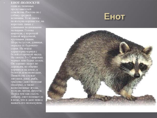 ЕНОТ-ПОЛОСКУН один из типичных представителей семейства. Ростом он с собаку средней величины. Тело енота - полоскуна коренастое, на коротких лапах с длинными подвижными пальцами. Голова широкая, с короткой тонкой мордочкой, крупными ушами. Шерсть густая, длинная, окраска ее буровато-серая. На морде характерна черная с белой оторочкой маска. На хвосте 5—7 широких черных или бурых колец. Он хорошо лазает по деревьям, но обычно кормится на земле, в болотах и мелководьях. Пищей ему служат лягушки, раки, рыба, грызуны (даже молодые ондатры), а также всевозможные ягоды, желуди, орехи, фрукты. Перед тем как съесть добычу, енот полощет ее в воде, что и дало повод назвать его полоскуном.