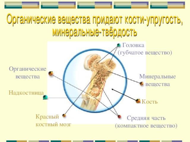 Головка (губчатое вещество) Органические вещества Минеральные вещества Надкостница Кость Красный костный мозг Средняя часть (компактное вещество)