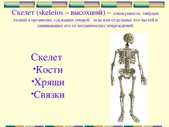 Скелет ( skeletos – высохший) –  совокупность твёрдых тканей в организме, служащих опорой тела или отдельных его частей и защищающих его от механических повреждений.      Скелет