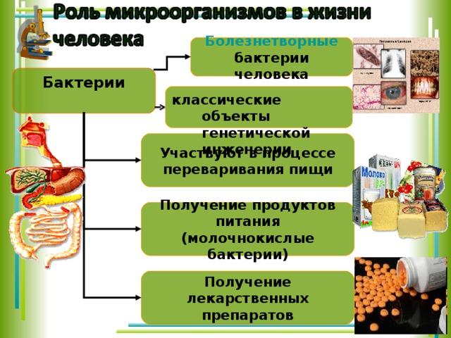 Болезнетворные  бактерии человека Бактерии  классические объекты генетической инженерии Участвуют в процессе переваривания пищи Получение продуктов питания (молочнокислые бактерии) В природе бактерии работают, как незаменимые труженики.  Они участвуют в образовании перегноя из отмерших частей растений (гнилостные бактерии).  Когда перегной образовался, вступают в работу другие сапрофитные бактерии, которые преобразуют органические вещества перегноя в минеральные соли почвы, которые так необходимы зеленым растениям для нормального роста и развития.  А помнишь, мы уже говорили о клубеньковых бактериях, которые поселяются в клетках корней бобовых растений? Эти палочковидные бактерии размножаются в клетках корня, образуя утолщения – клубеньки. Такие