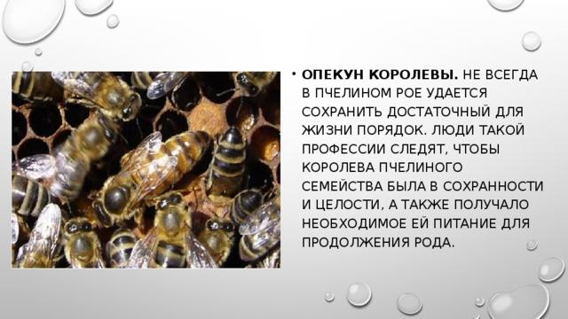 Опекун королевы. Не всегда в пчелином рое удается сохранить достаточный для жизни порядок. Люди такой профессии следят, чтобы королева пчелиного семейства была в сохранности и целости, а также получало необходимое ей питание для продолжения рода.