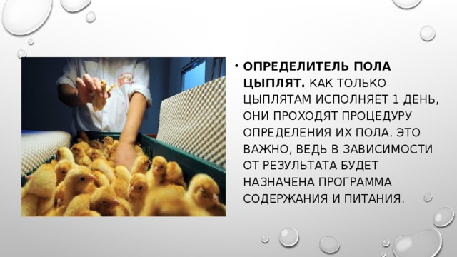 Определитель пола цыплят. Как только цыплятам исполняет 1 день, они проходят процедуру определения их пола. Это важно, ведь в зависимости от результата будет назначена программа содержания и питания.