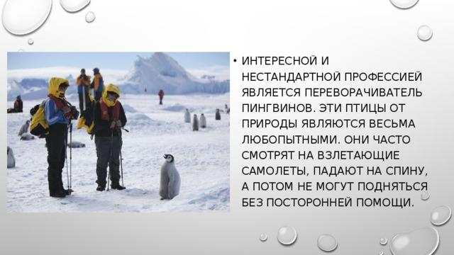 Интересной и нестандартной профессией является переворачиватель пингвинов. Эти птицы от природы являются весьма любопытными. Они часто смотрят на взлетающие самолеты, падают на спину, а потом не могут подняться без посторонней помощи.
