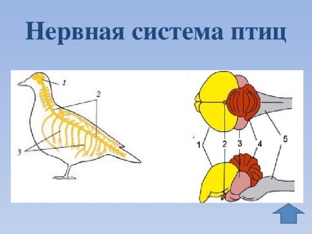 днем медсестры система головного мозга у птицы картинки ловко без лишних