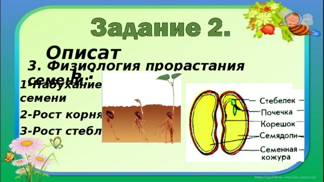 Описать : 3. Физиология прорастания семени: 1-Набухание семени 2-Рост корня 3-Рост стебля