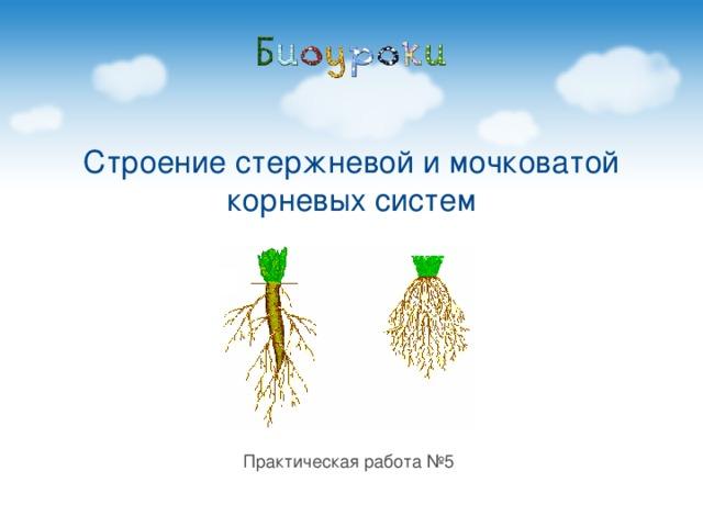 Строение стержневой и мочковатой корневых систем