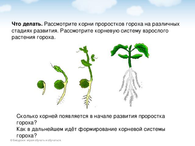 Что делать. Сколько корней появляется в начале развития проростка гороха? Как в дальнейшем идёт формирование корневой системы гороха?