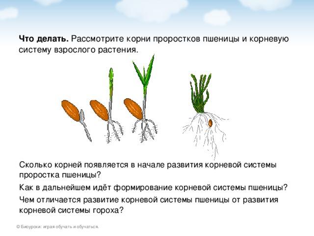 Что делать. Сколько корней появляется в начале развития корневой системы проростка пшеницы? Как в дальнейшем идёт формирование корневой системы пшеницы? Чем отличается развитие корневой системы пшеницы от развития корневой системы гороха?