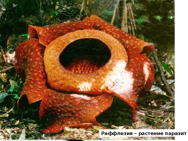 Раффлезия – растение паразит