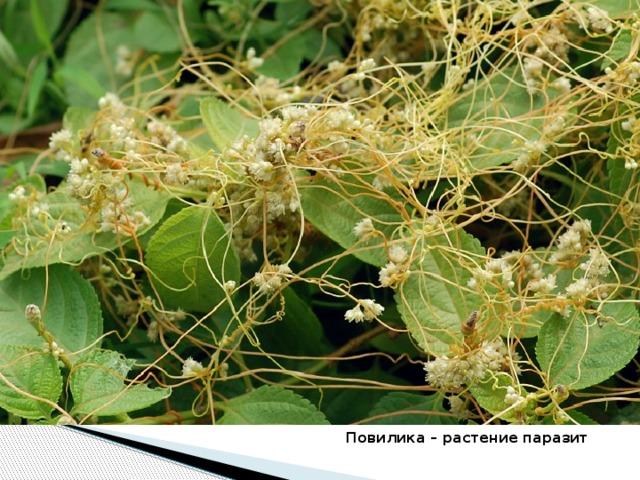 Повилика – растение паразит