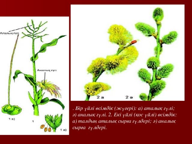 . Бір үйлі өсімдік (жүгері): а) аталық гүлі; ә) аналық гүлі. 2. Екі үйлі (қос үйлі) өсімдік: а) талдың аталық сырға гүлдері; ә) аналық сырға гүлдері.
