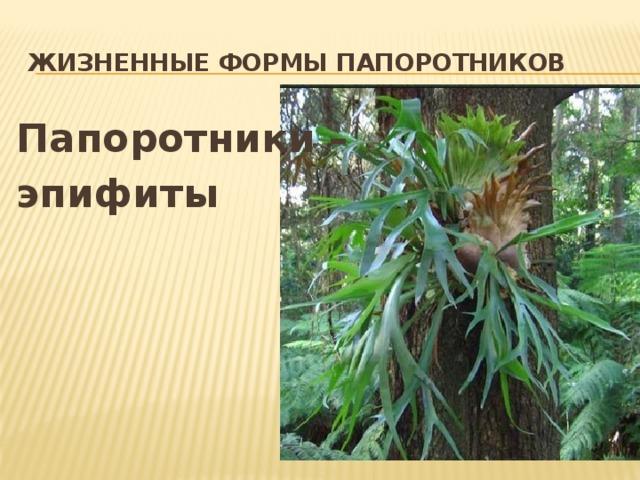 Жизненные формы папоротников Папоротники – эпифиты