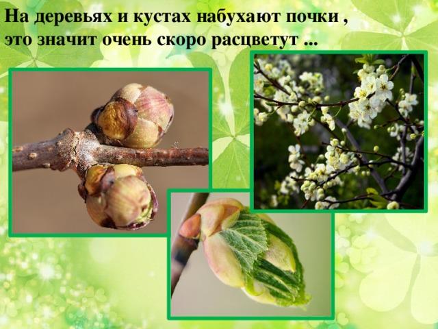 На деревьях и кустах набухают почки , это значит очень скоро расцветут ...