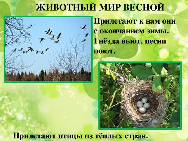 ЖИВОТНЫЙ МИР ВЕСНОЙ Прилетают к нам они с окончанием зимы. Гнёзда вьют, песни поют. Прилетают птицы из тёплых стран.