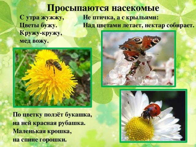 Просыпаются насекомые Не птичка, а с крыльями: С утра жужжу, Над цветами летает, нектар собирает. Цветы бужу. Кружу-кружу, мед вожу. По цветку ползёт букашка, на ней красная рубашка. Маленькая крошка, на спине горошки.