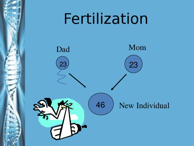 Fertilization Mom Dad 23 23 Formation of a new individual through the union of parent cells The number of chromosomes are animated so you can ask students the answers before it comes up 46 New Individual 28