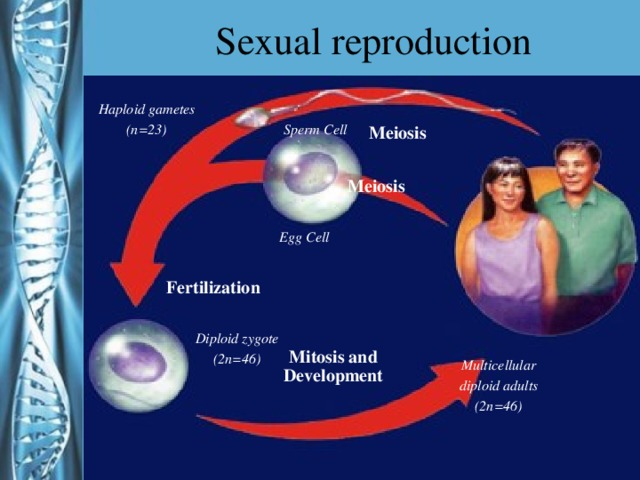 Sexual reproduction Haploid gametes (n=23) Sperm Cell Meiosis Meiosis Egg Cell Fertilization Diploid zygote (2n=46) Mitosis and Development Multicellular diploid adults (2n=46)