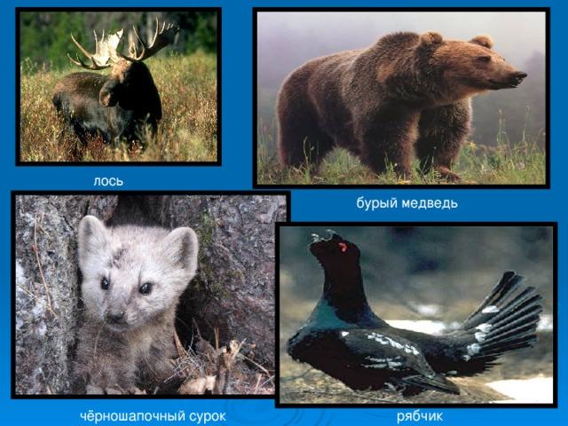 лось бурый медведь чёрношапочный сурок рябчик