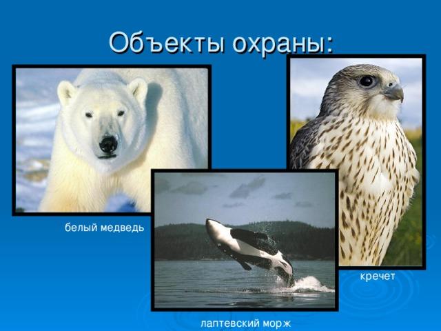белый медведь кречет лаптевский морж