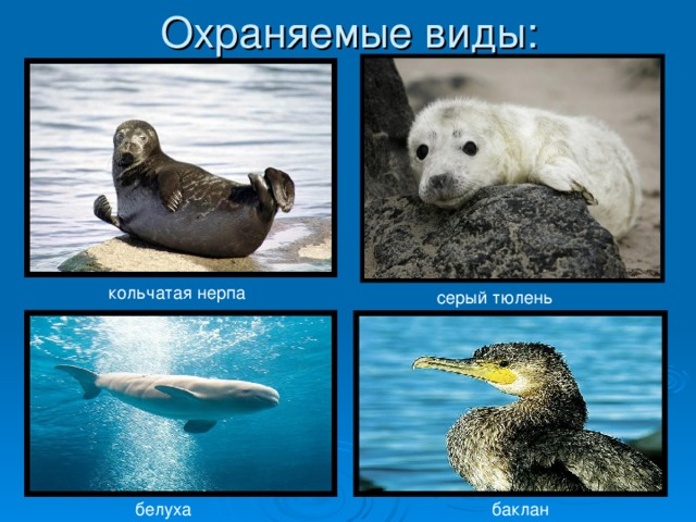кольчатая нерпа серый тюлень белуха баклан