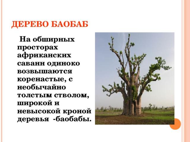 ДЕРЕВО БАОБАБ  На обширных просторах африканских саванн одиноко возвышаются коренастые, с необычайно толстым стволом, широкой и невысокой кроной деревья -баобабы.