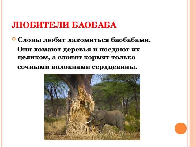 ЛЮБИТЕЛИ БАОБАБА Слоны любят лакомиться баобабами.  Они ломают деревья и поедают их целиком, а слонят кормят только  сочными волокнами сердцевины.