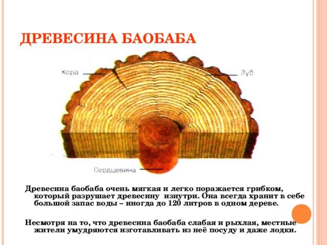 ДРЕВЕСИНА БАОБАБА Древесина баобаба очень мягкая и легко поражается грибком, который разрушает древесину изнутри. Она всегда хранит в себе большой запас воды – иногда до 120 литров в одном дереве.  Несмотря на то, что древесина баобаба слабая и рыхлая, местные жители умудряются изготавливать из неё посуду и даже лодки.