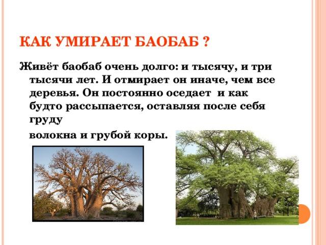 КАК УМИРАЕТ БАОБАБ ? Живёт баобаб очень долго: и тысячу, и три тысячи лет. И отмирает он иначе, чем все деревья. Он постоянно оседает и как будто рассыпается, оставляя после себя груду  волокна и грубой коры.