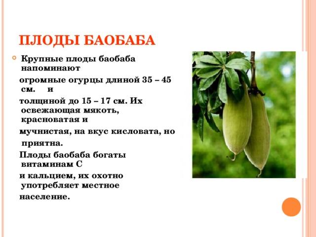 ПЛОДЫ БАОБАБА Крупные плоды баобаба напоминают  огромные огурцы длиной 35 – 45 см. и  толщиной до 15 – 17 см. Их освежающая мякоть, красноватая и  мучнистая, на вкус кисловата, но  приятна.  Плоды баобаба богаты витаминам С  и кальцием, их охотно употребляет местное  население.