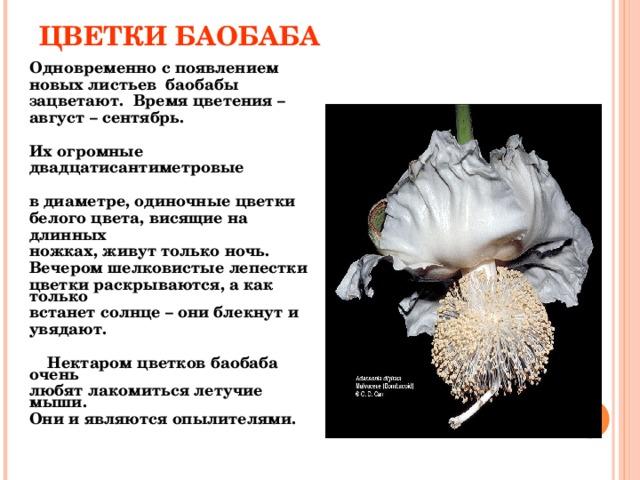 ЦВЕТКИ БАОБАБА  Одновременно с появлением новых листьев баобабы зацветают. Время цветения – август – сентябрь.  Их огромные двадцатисантиметровые  в диаметре, одиночные цветки белого цвета, висящие на длинных ножках, живут только ночь. Вечером шелковистые лепестки цветки раскрываются, а как только встанет солнце – они блекнут и увядают.   Нектаром цветков баобаба очень любят лакомиться летучие мыши. Они и являются опылителями.