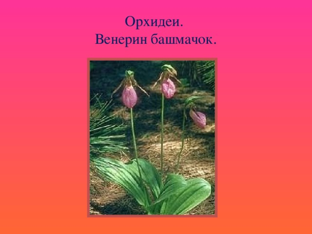 Орхидеи.  Венерин башмачок.