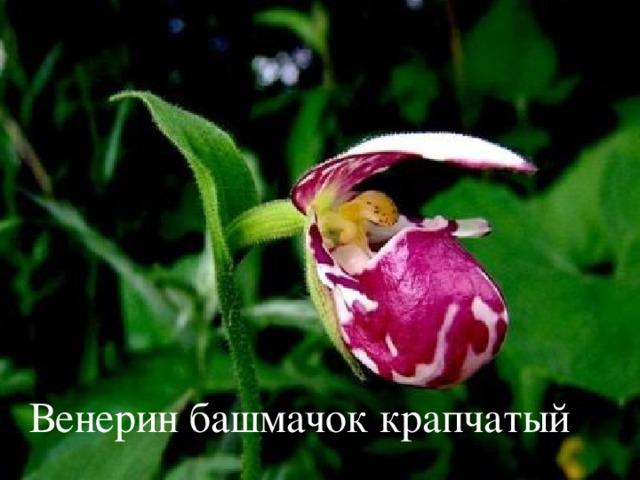 Венерин башмачок крапчатый