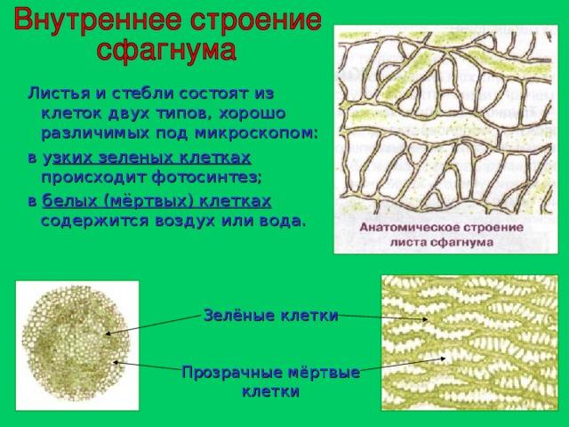 Листья и стебли состоят из клеток двух типов, хорошо различимых под микроскопом:  в у зких зеленых клетках происходит фотосинтез;  в белых (мёртвых) клетках содержится воздух или вода. Зелёные клетки Прозрачные мёртвые клетки