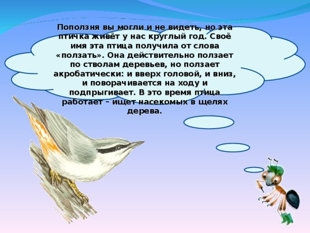 Поползня вы могли и не видеть, но эта птичка живёт у нас круглый год. Своё имя эта птица получила от слова «ползать». Она действительно ползает по стволам деревьев, но ползает акробатически: и вверх головой, и вниз, и поворачивается на ходу и подпрыгивает. В это время птица работает – ищет насекомых в щелях дерева.
