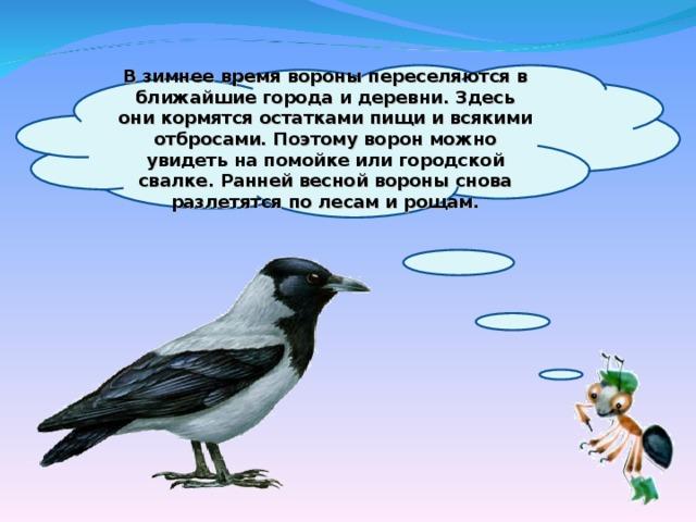 В зимнее время вороны переселяются в ближайшие города и деревни. Здесь они кормятся остатками пищи и всякими отбросами. Поэтому ворон можно увидеть на помойке или городской свалке. Ранней весной вороны снова разлетятся по лесам и рощам.