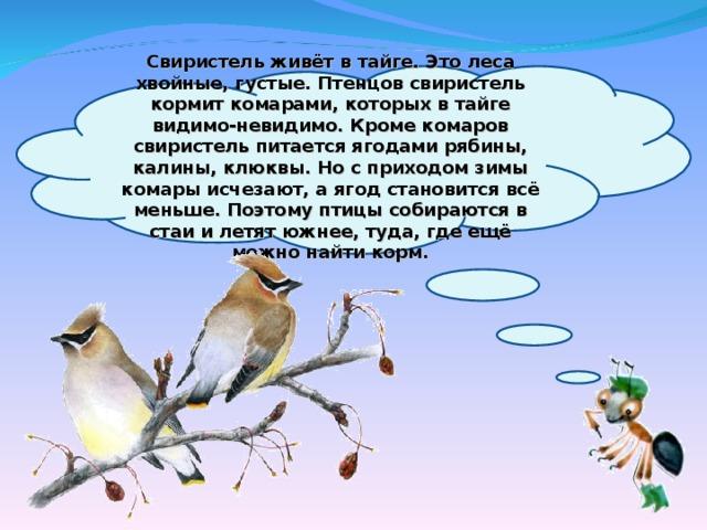 Свиристель живёт в тайге. Это леса хвойные, густые. Птенцов свиристель кормит комарами, которых в тайге видимо-невидимо. Кроме комаров свиристель питается ягодами рябины, калины, клюквы. Но с приходом зимы комары исчезают, а ягод становится всё меньше. Поэтому птицы собираются в стаи и летят южнее, туда, где ещё можно найти корм.