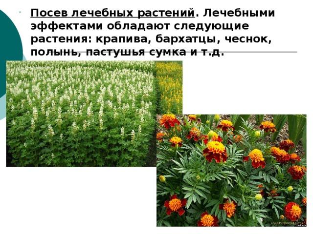 Посев лечебных растений . Лечебными эффектами обладают следующие растения: крапива, бархатцы, чеснок, полынь, пастушья сумка и т.д. Посев лечебных растений