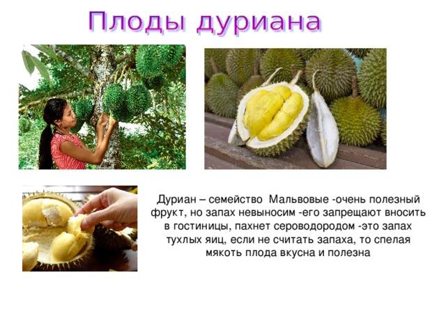 Дуриан – семейство Мальвовые -очень полезный фрукт, но запах невыносим -его запрещают вносить в гостиницы, пахнет сероводородом -это запах тухлых яиц, если не считать запаха, то спелая мякоть плода вкусна и полезна